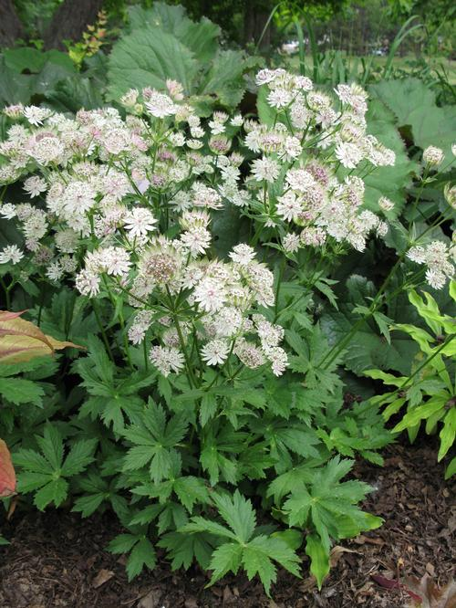 Astrantia major Star of Billions