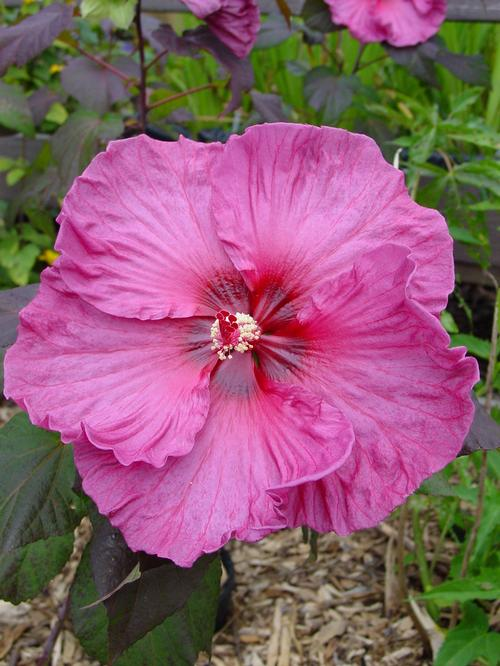 Hibiscus Fleming™ Plum Crazy