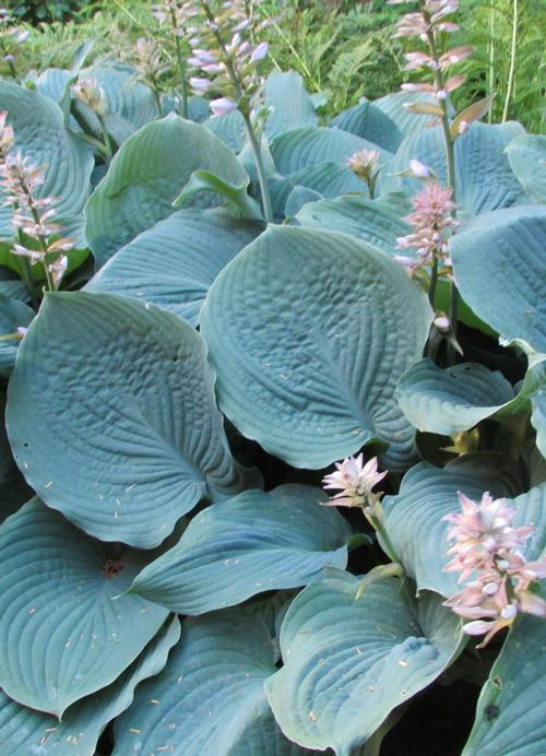 Hosta Blue Hawaii