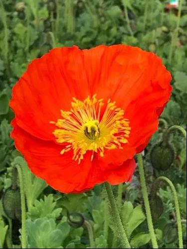 Papaver nudicaule Spring Fever™ Orange