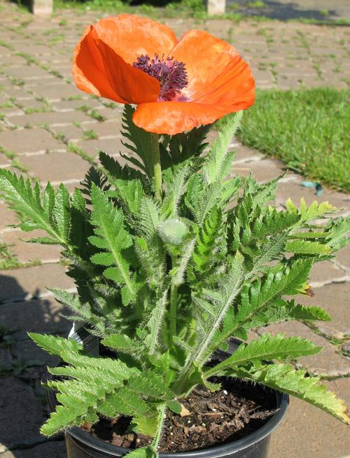 Papaver orientalis Prince of Orange