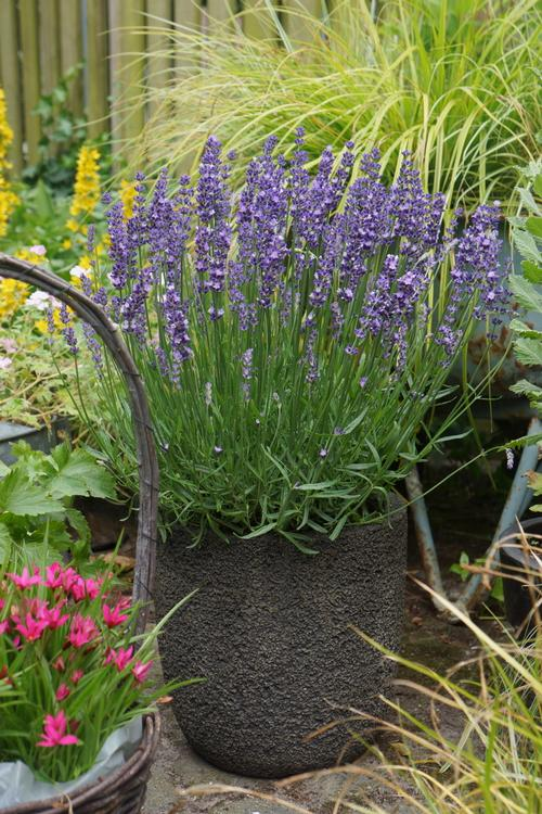 Lavandula angustifolia Big Time Blue