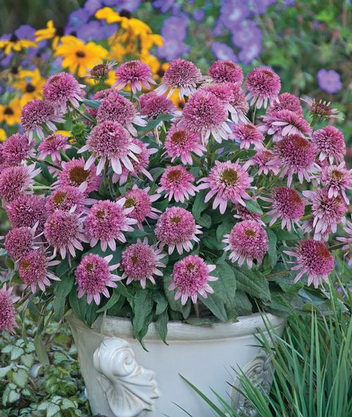 Echinacea purp. Cone-fections™ Butterfly Kisses