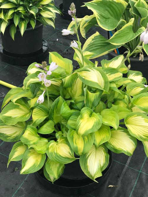 Hosta Lakeside Banana Bay