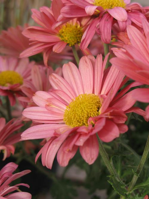 Chrysanthemum Mammoth™ Coral Daisy