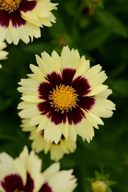 Coreopsis hybrida Uptick™ Cream and Red
