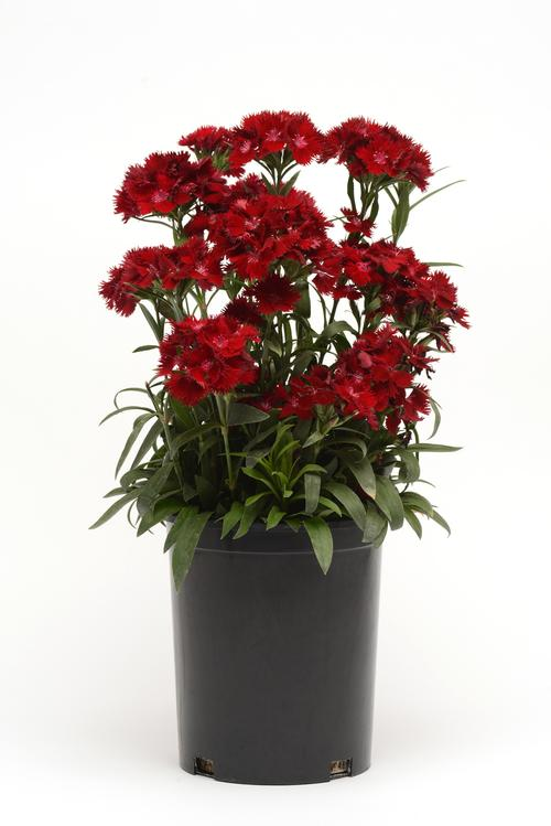 Dianthus x barbatus interspecific Rockin™ Red