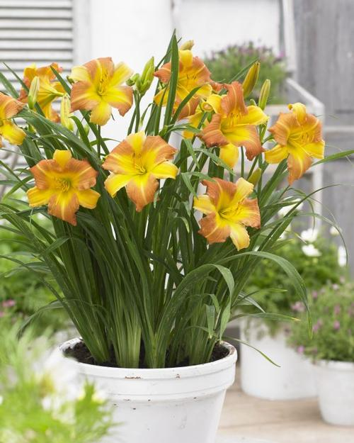 Hemerocallis EveryDaylily® Punch Yellow