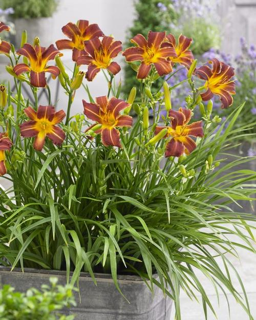 Hemerocallis EveryDaylily® Red Ribs