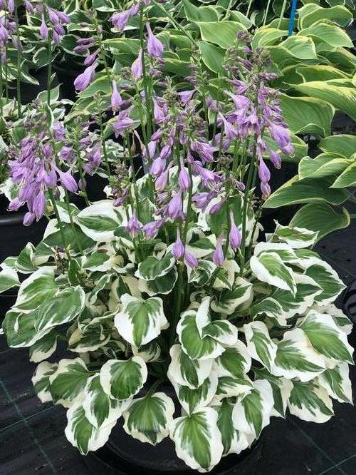 Hosta Diamond Tiara