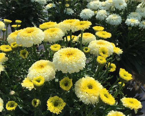 Leucanthemum superbum Realflor® Real Deal