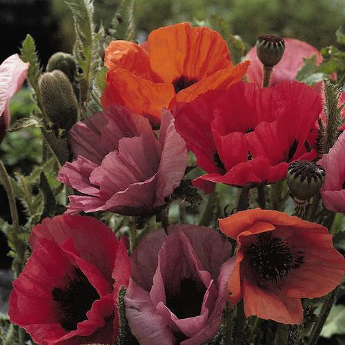 Papaver orientalis Fruit Punch
