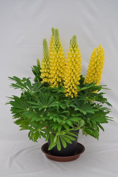 Lupinus Staircase® Yellow