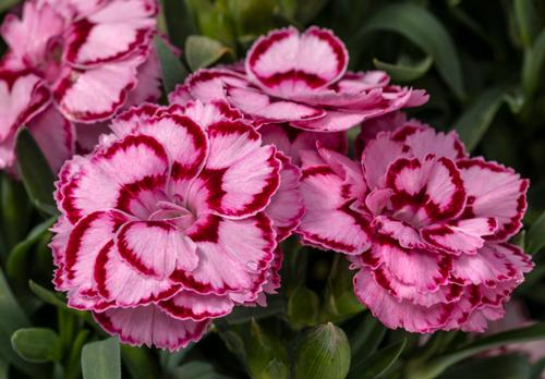 Dianthus Constant Beauty® Pink & Red