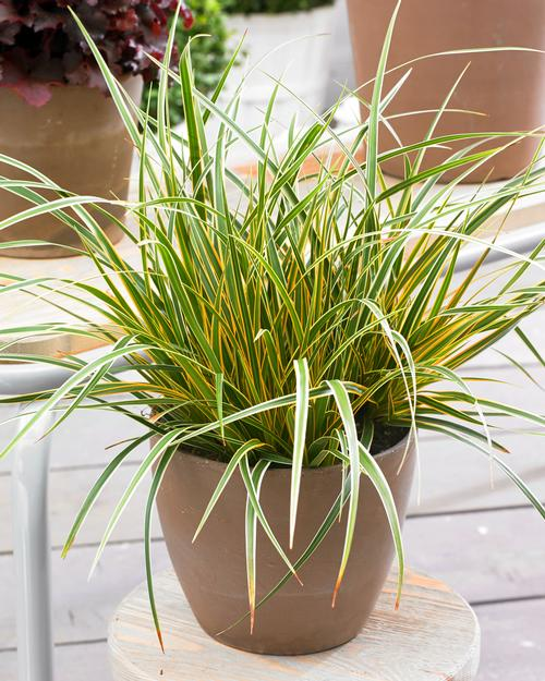 Carex oshimensis Evercolor® Everglow