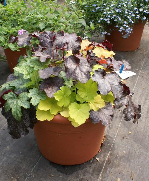 Heuchera Combo Tray for Mixed Containers