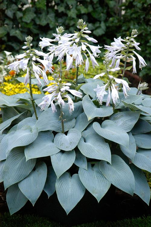 Hosta Bulletproof