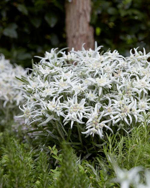 Leontopodium alpinum Blossom of Snow