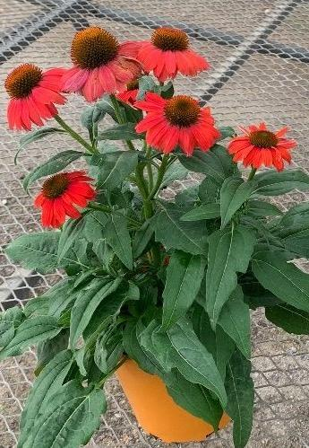 Echinacea hybrida Artisan™ Red Ombre
