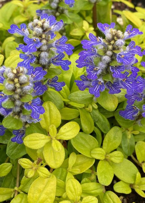 Ajuga Feathered Friends™ Cordial Canary