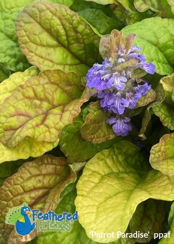 Ajuga Feathered Friends™ Parrot Paradise