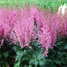 Astilbe chinensis Vision in Pink