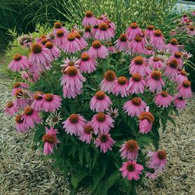 Echinacea purp. Kim's Knee High