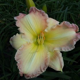 Hemerocallis Big Smile