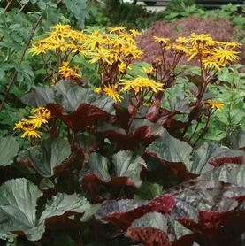 Ligularia dentata Britt-Marie Crawford