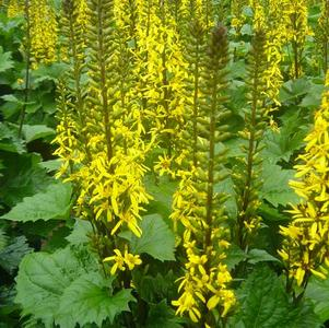 Ligularia stenocephala The Rocket