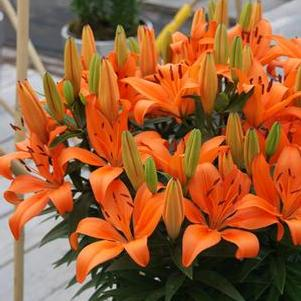 Lilium - Asiatic Pot Lily Orange Matrix