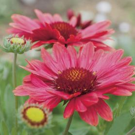 Gaillardia aristata Arizona Red Shades
