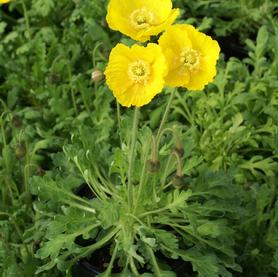 Papaver nudicaule Spring Fever™ Yellow