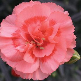 Dianthus Scent First™ Romance