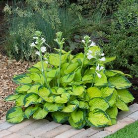 Hosta Rainforest Sunrise