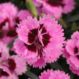 Dianthus Everlast™ Lilac + Eye