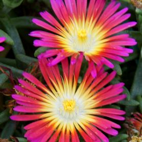 Delosperma WOW® Hot Pink Wonder