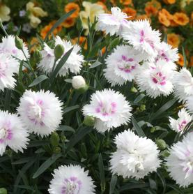 Dianthus Everlast™ White + Eye