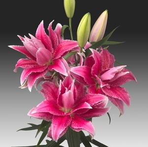 Lilium - Oriental Lily Double Flowering Rose Lily™ Thalita