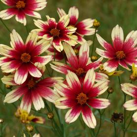 Coreopsis x Satin and Lace™ Red Chiffon