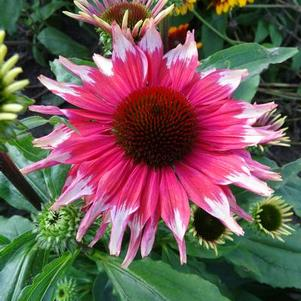 Echinacea purp. Playful Meadow Mama