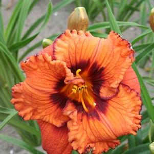 Hemerocallis Blaze of Glory