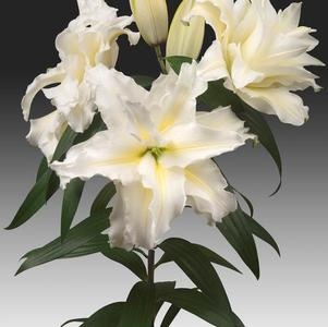 Lilium - Oriental Lily Double Flowering Rose Lily™ Carolina