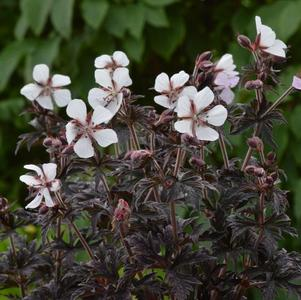 Geranium pratense Midnight Ghost