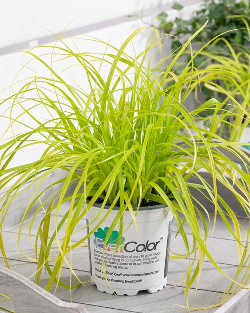 Carex oshimensis Evercolor® Everillo