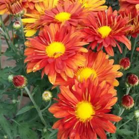 Chrysanthemum Mammoth™ Red Daisy