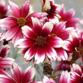 Coreopsis x Satin and Lace™ Berry Chiffon