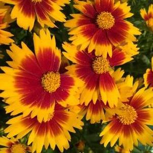 Coreopsis hybrida Uptick™ Gold and Bronze