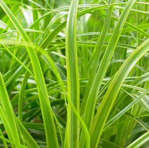 Carex oshimensis EverColor® Everlime