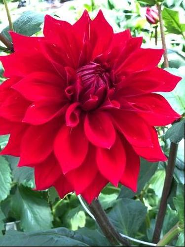 Dahlia Tall Dinner Plate Babylon Red
